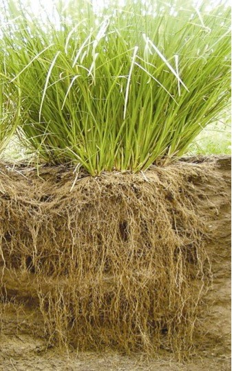 vetiver grass system1