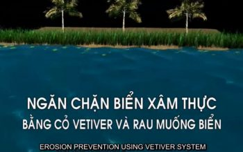 Erosion prevention using vetiver system, sea spinach, and coco coir